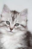 Syberyjska figlarka, srebna wersja, szczeniak Zdjęcie Stock