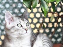 Syberyjska figlarka, srebna wersja, szczeniak Zdjęcia Royalty Free