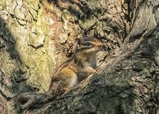 Syberyjska lub pospolita chipmunk wiewiórka, eutamias Fotografia Royalty Free