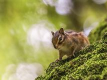 Syberyjska lub pospolita chipmunk wiewiórka, eutamias Zdjęcia Stock