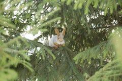 Syberyjska wiewiórka na gałąź Fotografia Royalty Free