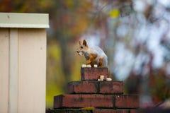 Syberyjska wiewiórka na ogrodzeniu Fotografia Royalty Free