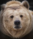 Syberyjski brown niedźwiedź w lesie Obrazy Stock