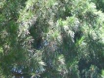 Syberyjski cedr rozgałęzia się chodzenie w wiatrze siberia zdjęcie wideo