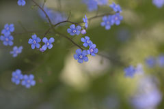 Syberyjski farbownik - Jack Frost Brunnera Zdjęcie Royalty Free