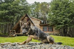 Syberyjski Huski psi odpoczywać na ziemi obrazy royalty free