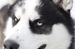 Syberyjski husky Zdjęcia Royalty Free