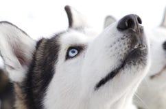 Syberyjski husky Fotografia Stock