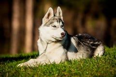 Syberyjski husky Fotografia Royalty Free