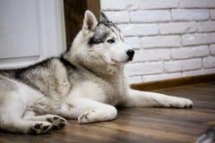 Syberyjski husky kłama na podłoga w domu styl życia z psem zdjęcia royalty free