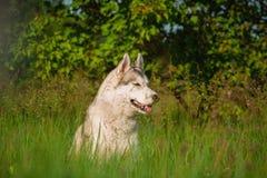 Syberyjski husky na polu Zdjęcia Stock