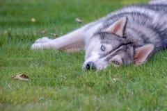 Syberyjski husky odpoczywa na trawie fotografia royalty free