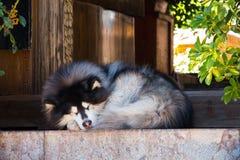 Syberyjski husky śpi Obraz Royalty Free