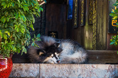 Syberyjski husky śpi Obrazy Royalty Free