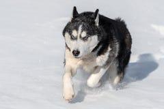 Syberyjski husky podbija snowdrifts zdjęcie royalty free