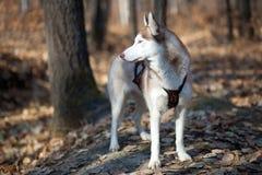 Syberyjski husky w jesień lesie Zdjęcia Stock