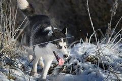 Syberyjski husky w zimie fotografia royalty free