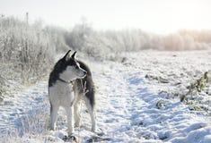 Syberyjski husky w zimie obrazy stock