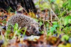 Syberyjski jeż w lesie Zdjęcia Royalty Free
