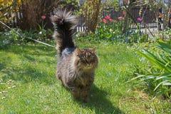 Syberyjski kot z prowadzeniem, przespacerowanie w frontowym ogródzie obrazy royalty free