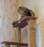 Syberyjski kota obsiadanie na półce zdjęcia royalty free