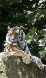 Syberyjski tygrys Zdjęcie Stock