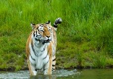 Syberyjski tygrys fotografia royalty free