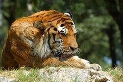 Syberyjski tygrys obrazy stock