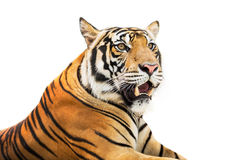 Syberyjski tygrys odizolowywający zdjęcie stock
