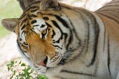 Syberyjski tygrys (Panthera Tigris altaica) Zdjęcia Royalty Free
