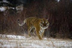 Syberyjski tygrys, Panthera Tigris altaica Zdjęcie Stock