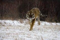 Syberyjski tygrys, Panthera Tigris altaica Zdjęcia Stock