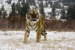 Syberyjski tygrys, Panthera Tigris altaica Obraz Stock