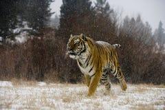 Syberyjski tygrys, Panthera Tigris altaica Obrazy Stock