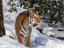 Syberyjski tygrys, Panthera Tigris altaica, chodzi w śniegu w lasowym Patrzeje dobrze zdjęcia stock