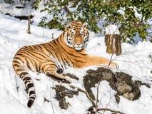 Syberyjski tygrys, Panthera Tigris altaica, odpoczywa w śniegu w lesie Patrzeje kamerę zdjęcie royalty free
