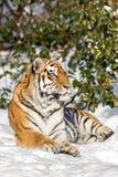 Syberyjski tygrys, Panthera Tigris altaica, odpoczywa w śniegu w lesie Patrzeje kamerę fotografia stock