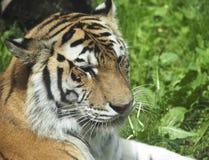 Syberyjski tygrys Tygrys Altaica Lub Panthera Zdjęcia Royalty Free