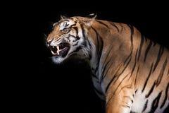 Syberyjski tygrys w akci warczenie Fotografia Royalty Free