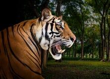 Syberyjski tygrys w dzikim Zdjęcia Royalty Free