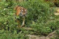 Syberyjski tygrys w trawie bezpośrednio fotograf obraz royalty free