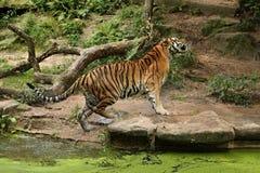 Syberyjski tygrys w trawie bezpośrednio fotograf zdjęcie stock