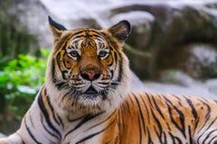 Syberyjski tygrysa tak?e Amur nazwany tygrys obrazy royalty free