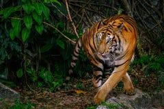 Syberyjski tygrysa tak?e Amur nazwany tygrys obraz royalty free