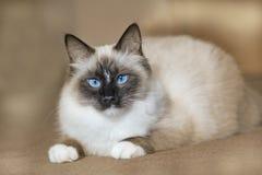 Syberyjski zarodowy kot z niebieskimi oczami Zdjęcie Stock