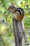 Syberyjskiego chipmunk Tamias Łaciński sibiricus Chipmunks zawierają 25 gatunków w Północna Ameryka, najwięcej z czego żywy fotografia royalty free