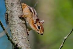 Syberyjskiego chipmunk Tamias Łaciński sibiricus Chipmunks zawierają 25 gatunków w Północna Ameryka, najwięcej z czego żywy zdjęcie royalty free