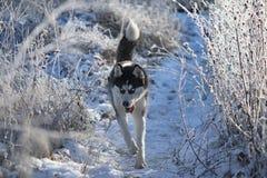 Syberyjskiego husky bieg zdjęcie stock