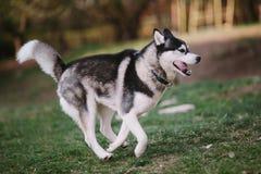 Syberyjskiego husky bieg w parku zdjęcie royalty free