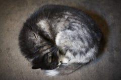 Syberyjskiego husky dosypianie Obrazy Royalty Free